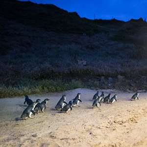 Penguins Up Late with Viewing Platform