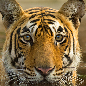 Icons of India: The Taj, Tigers & Beyond