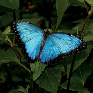 A beautiful Blue Butterfly found in the Amazon