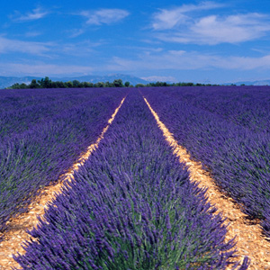 See the seemingly never ending lavender fields in Provence