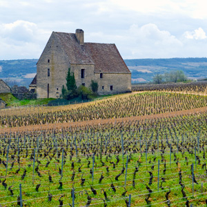 Vineyard in Beaune, France