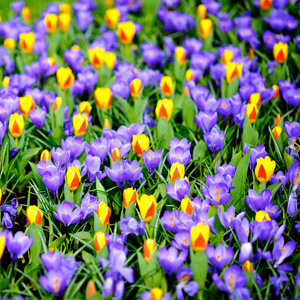 Approximately 7,000,000 flower bulbs are planted annually in Keukenhof