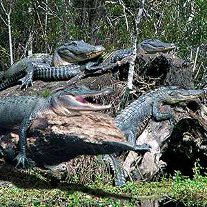 Louisiana Swamp Tours