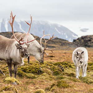 Reindeer Experience with Lappish Dinner
