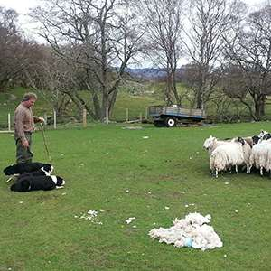 Sheep Dog Demonstration