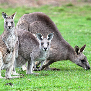 Kangaroos & Koalas in the Wild