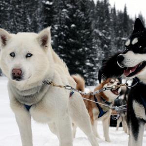 Alaska's Iditarod With Fairbanks (AIQ)