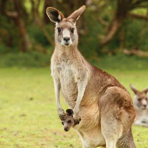 Australian Explorer