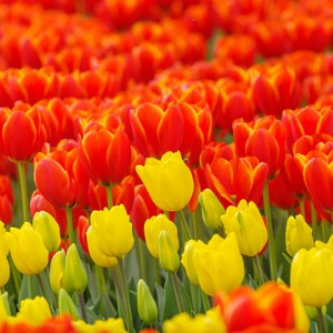 Tulip Time in Holland & Belgium