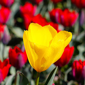 Tulip Time Highlights